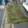 5月27日アマモの花枝採取