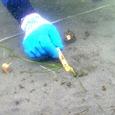 3月1日野島でアマモの移植