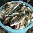 盤洲スダテの魚たち(7月)