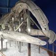 クジラの骨格標本(5月8日)